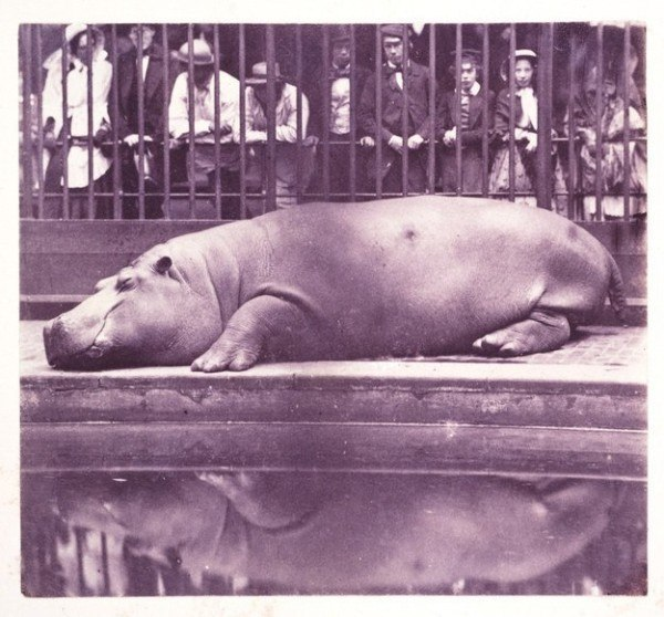 The-Hippopotamus-at-the-Zoological-Gardens